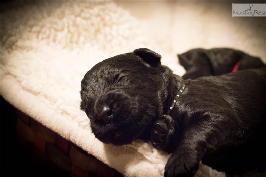 Spot: Schnauzer, Giant puppy for sale near Twin Falls, Idaho