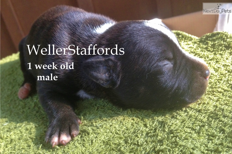Woody: Staffordshire Bull Terrier puppy for sale near