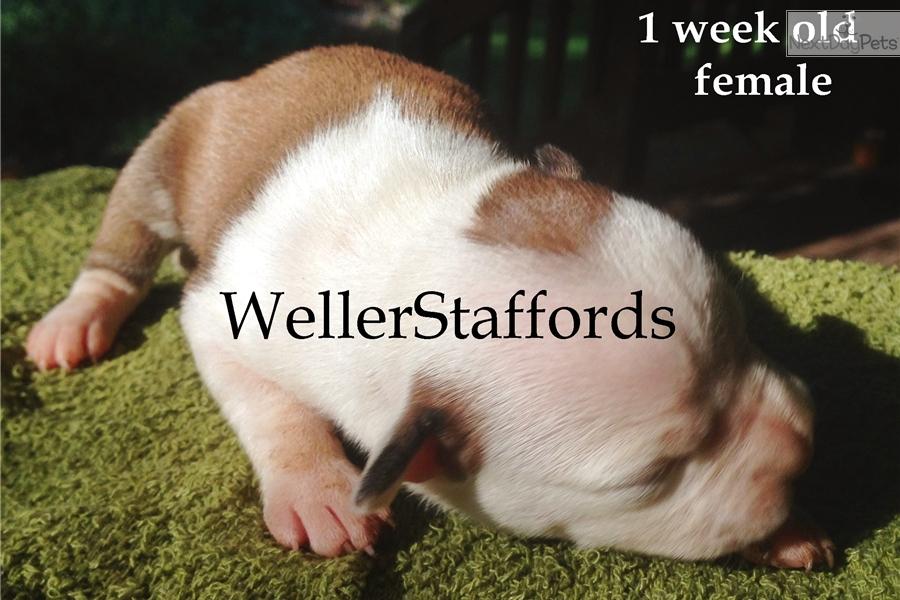 Lava: Staffordshire Bull Terrier puppy for sale near Redding