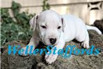 Picture of AKC English Staffy Blue White male -Forkie
