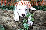Picture of AKC English Staffy Blue White male -buzz