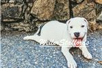 Picture of AKC English Staffy (white & blue)