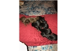Picture of Champion sired litter