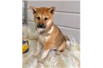 BEAUTIFUL LITTLE GIRL - LIZA - Female Shiba Inu | Puppy at 15 weeks of age for sale