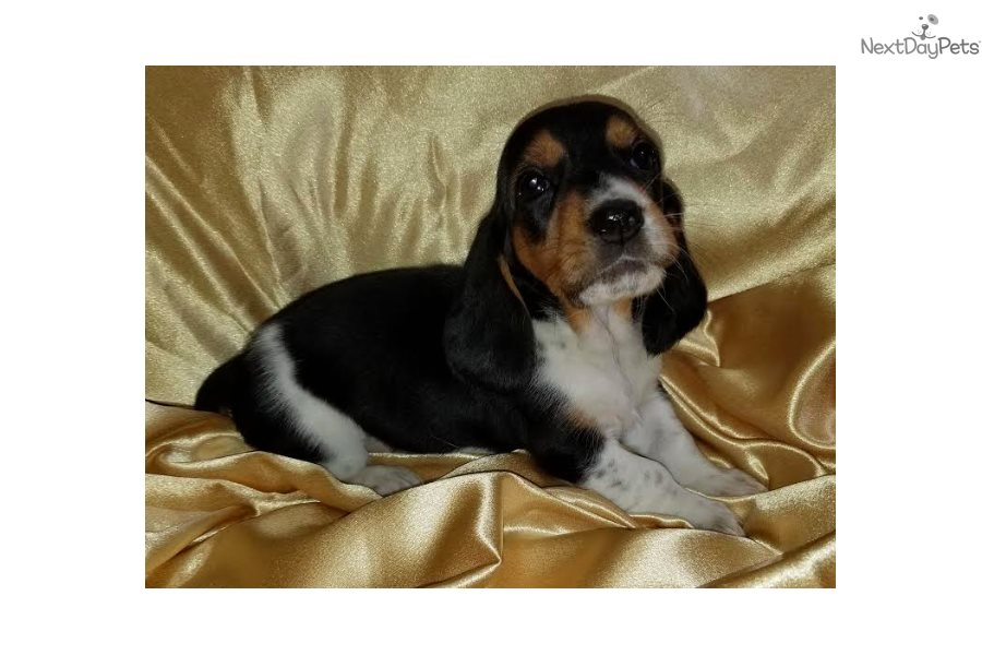 Aphrodite Basset Hound Puppy For Sale Near Northern Wi Wisconsin Ede42076 D461