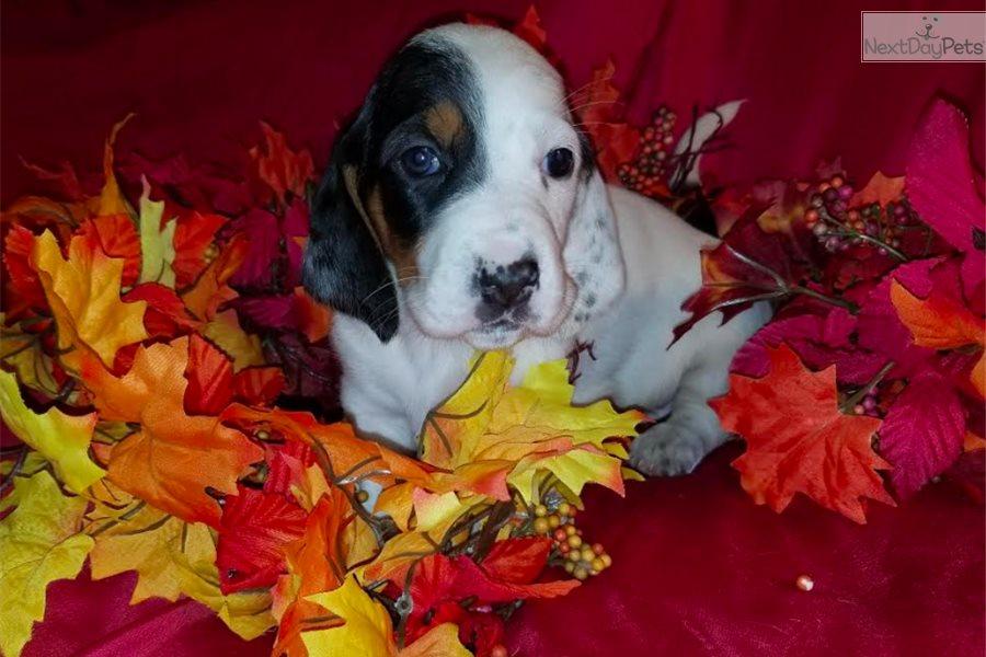 Ghost Basset Hound Puppy For Sale Near Northern Wi Wisconsin