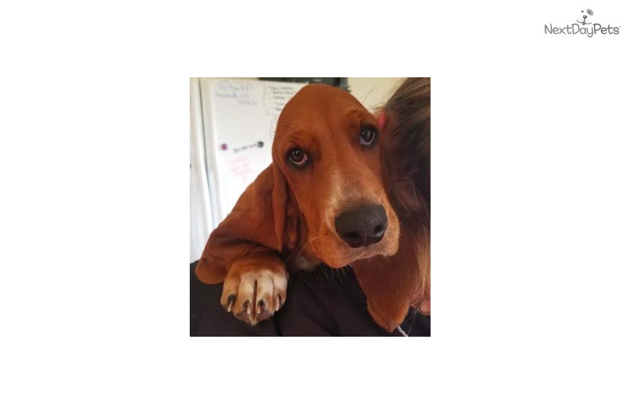 Lucy Lu Basset Hound Puppy For Sale Near Northern Wi Wisconsin