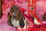 Picture of Rogue The Brindle Basset