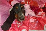 Picture of Frost the Brindle Basset