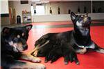Picture of Female Rare Black/Tan Jindo Puppy