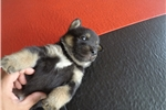 Picture of a Jindo Puppy