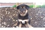 Picture of Rare Black/Tan Jindo Puppy