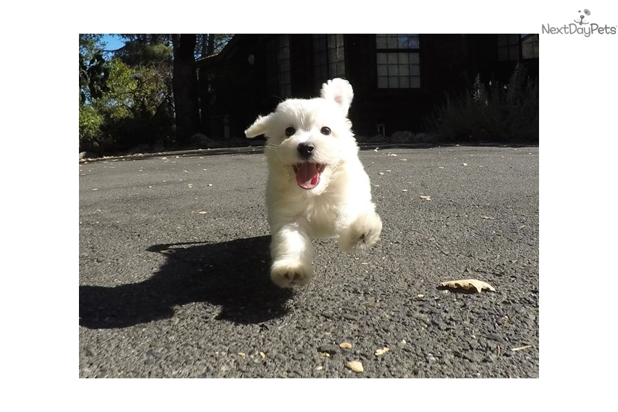 Lincoln: Bichon Frise puppy for sale near San Francisco Bay