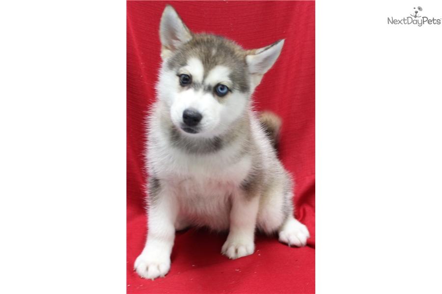 Pomsky puppy for sale near New York City, New York