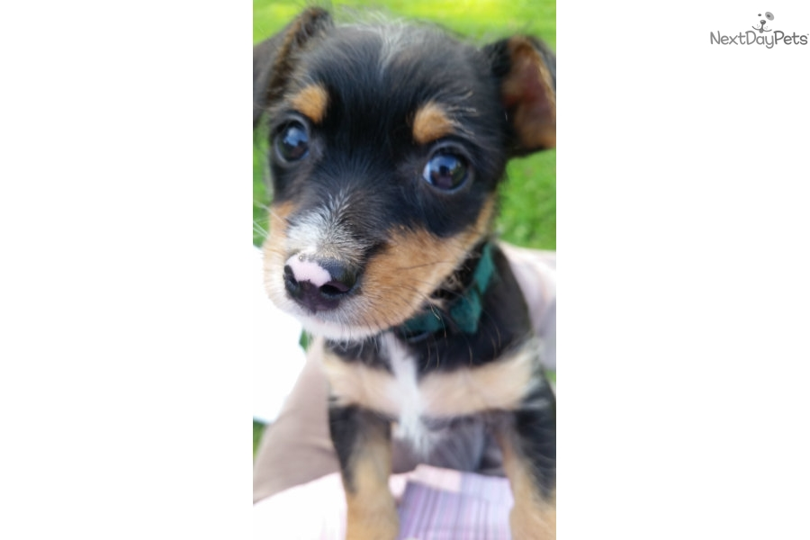Picture of a Chorkie