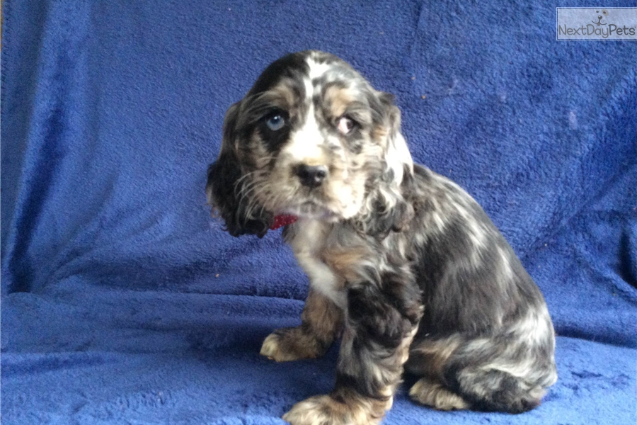cocker spaniel for sale near me jasper cocker spaniel puppy for sale near lancaster 4983