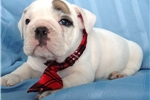 Picture of an English Bulldog Puppy