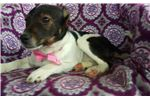 Picture of Fox terrier mix (Tina)