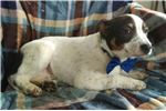 Picture of Fox terrier mix ( Rosco)