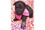 Picture of a Standard Schnauzer Puppy