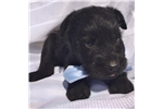 Picture of a Standard Schnauzer Puppy