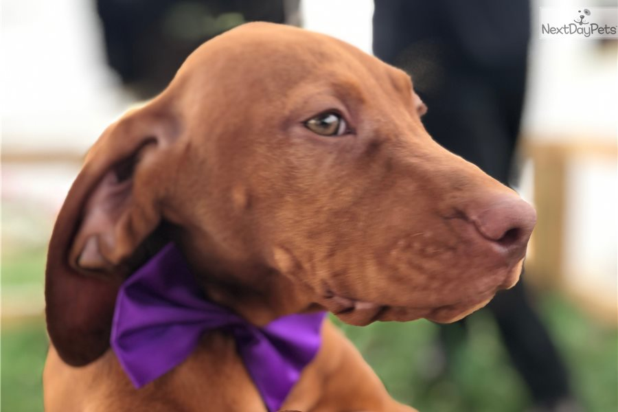Hungarian Vizsla Puppies for sale in New York USA