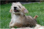 Picture of Adorable Female Norfolk Terrier for Sale