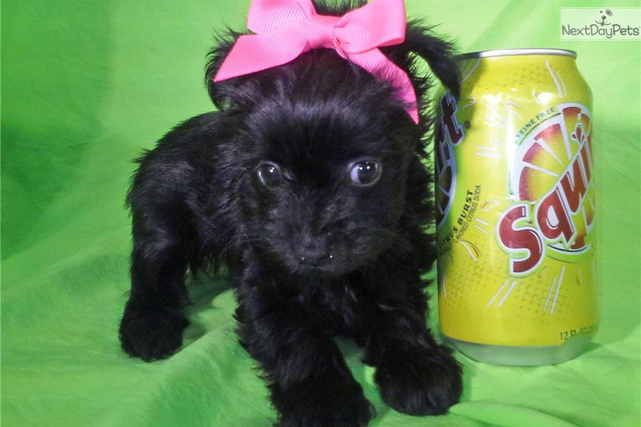 chorkie puppy for sale near phoenix arizona 5ee7ba79d1d1