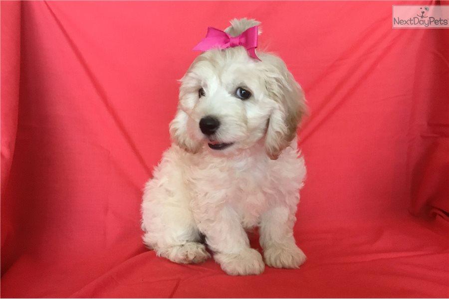 Sweetness: Cockapoo puppy for sale near Phoenix, Arizona ...