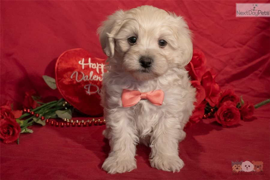 Malti Poo - Maltipoo puppy for sale near Phoenix, Arizona ...