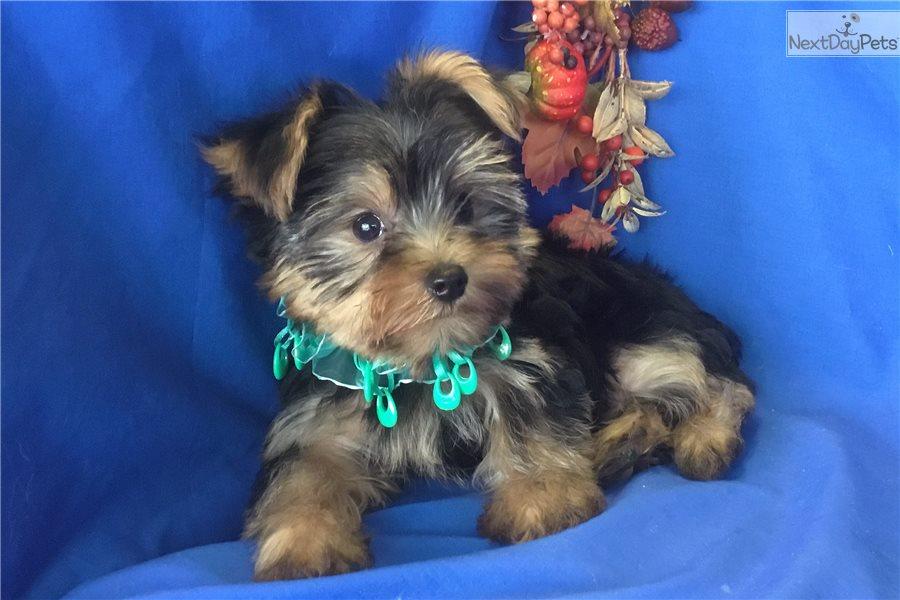 Prinz Yorkshire Terrier Yorkie Puppy For Sale Near Phoenix Arizona