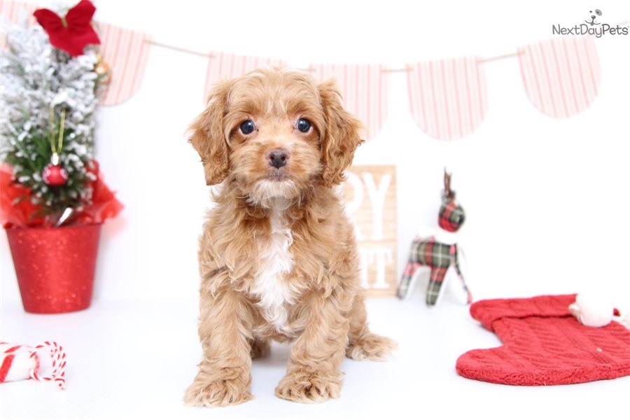 Lady: Cockapoo puppy for sale near Ft Myers / SW Florida ...