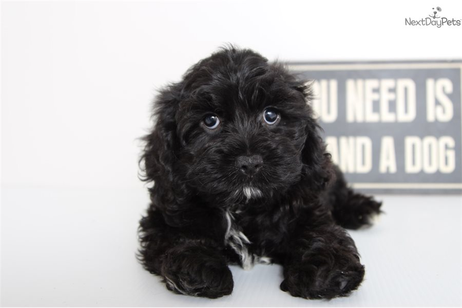 Lennon Cockapoo Puppy For Sale Near Ft Myers  Sw Florida -4233