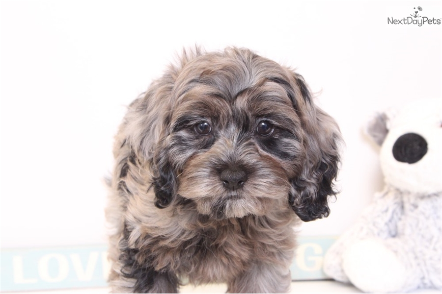 Star: Cockapoo puppy for sale near Ft Myers / SW Florida