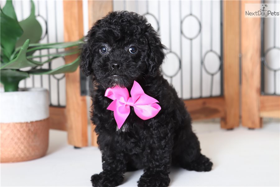 Holly: Cockapoo puppy for sale near Ft Myers / SW Florida