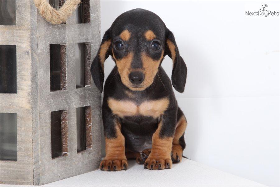 Kenzie Dachshund Mini Puppy For Sale Near Ft Myers Sw Florida