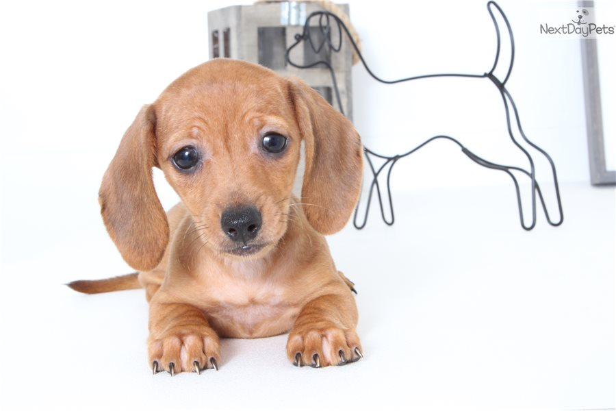 Ginger Dachshund Mini Puppy For Sale Near Ft Myers Sw Florida