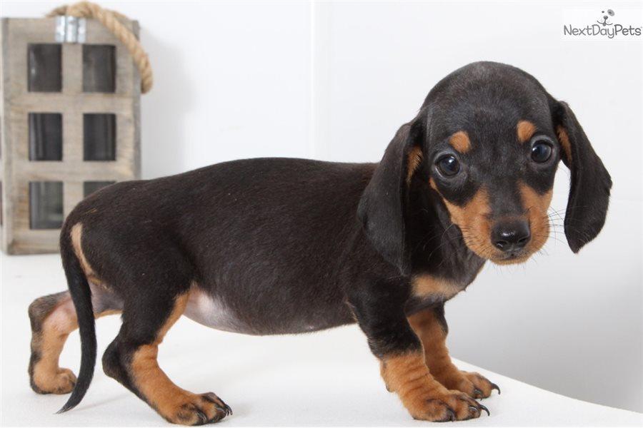 Mae Dachshund Puppy For Sale Near Ft Myers Sw Florida Florida