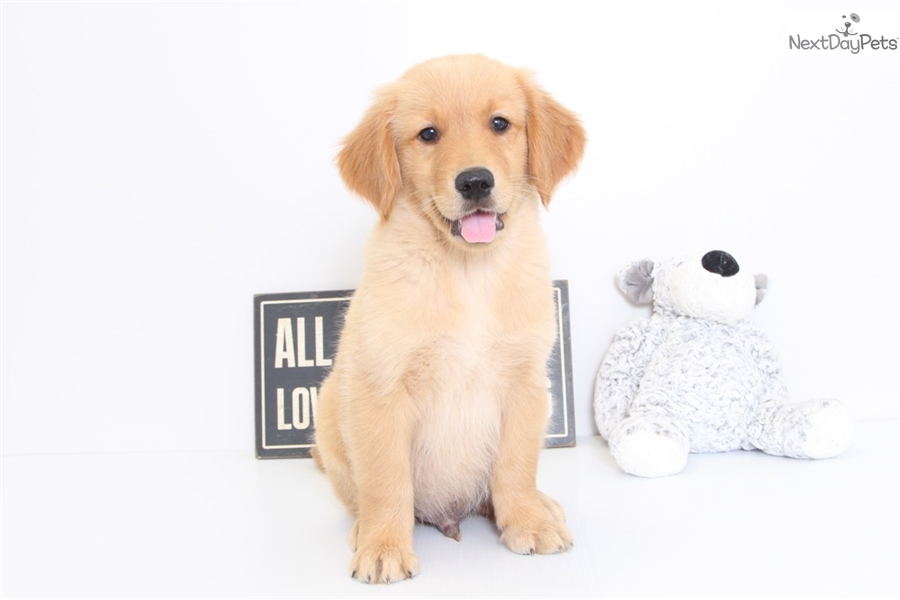 Milo: Golden Retriever puppy for sale near Ft Myers / SW