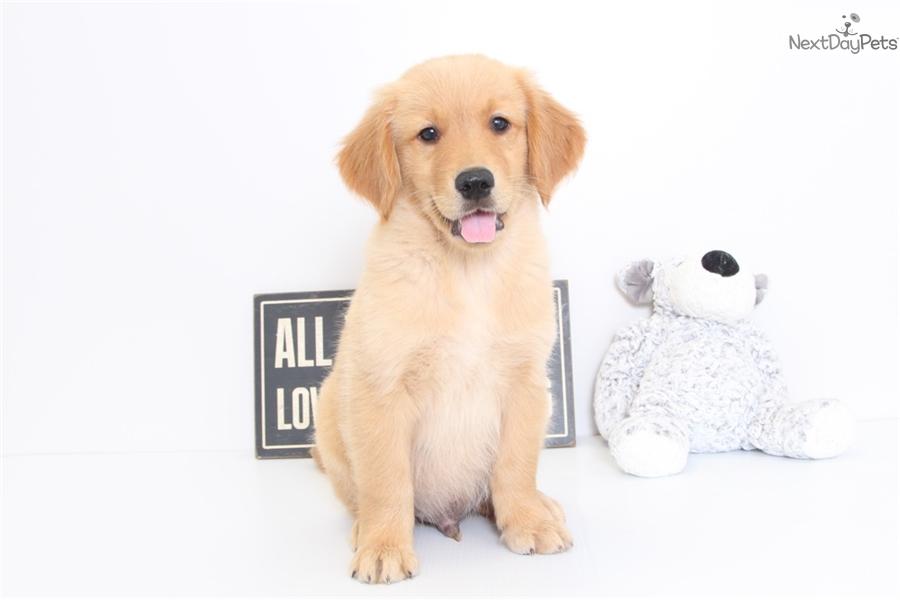 Milo Golden Retriever Puppy For Sale Near Ft Myers Sw Florida