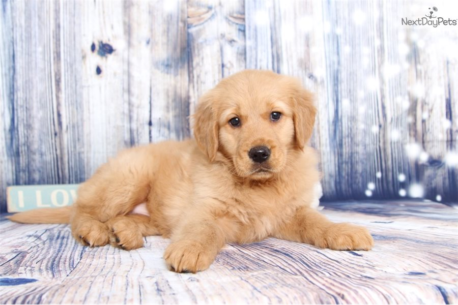 Cora: Golden Retriever puppy for sale near Ft Myers / SW