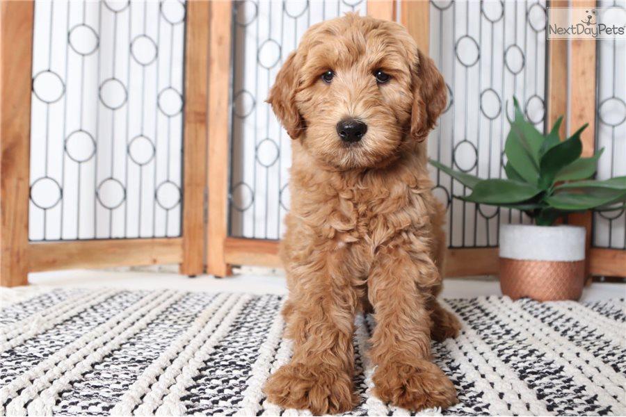Missy Stunning Female F1b Goldendoodle Puppy