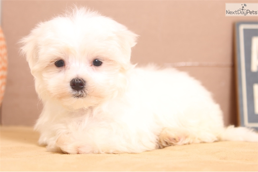 Carter Maltese Puppy For Sale Near Ft Myers Sw Florida Florida