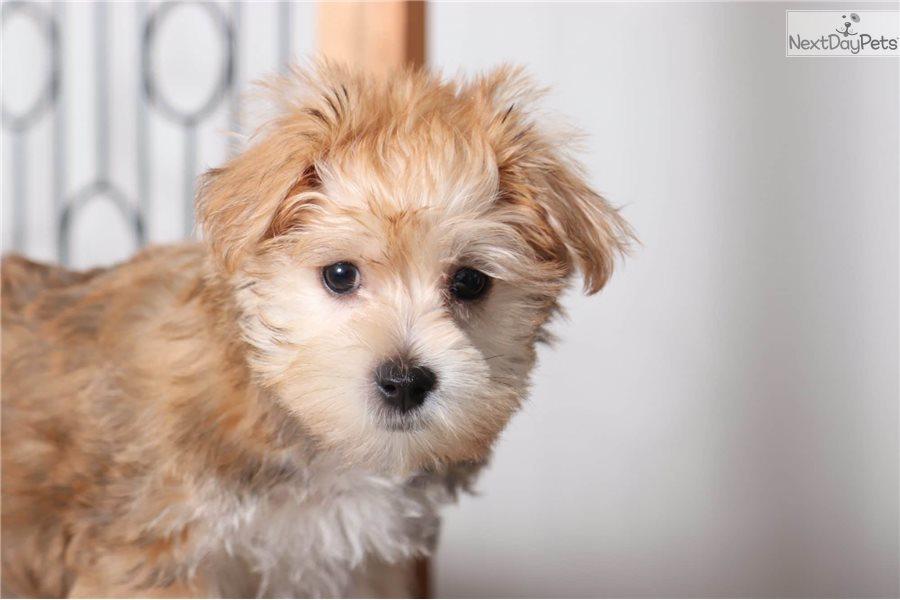 Captain: Buy Morkie / Yorktese puppy for sale near Ft Myers Florida USA