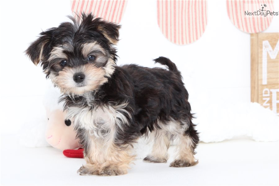 Morkie / Yorktese puppy for sale near Ft Myers / SW Florida