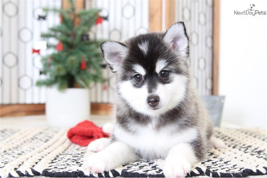 Miescka Pomsky Puppy For Sale Near Ft Myers Sw Florida Florida