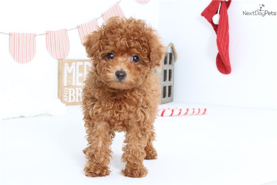 Poodle Toy Puppy For Sale Near Ft Myers Sw Florida