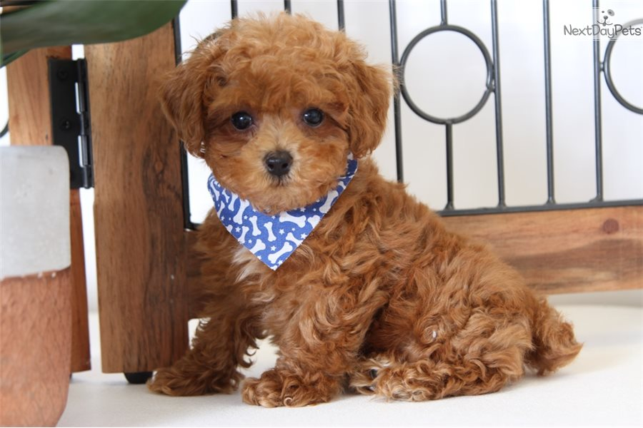 View Ad: Poodle (Standard) Puppy for Sale near Louisiana