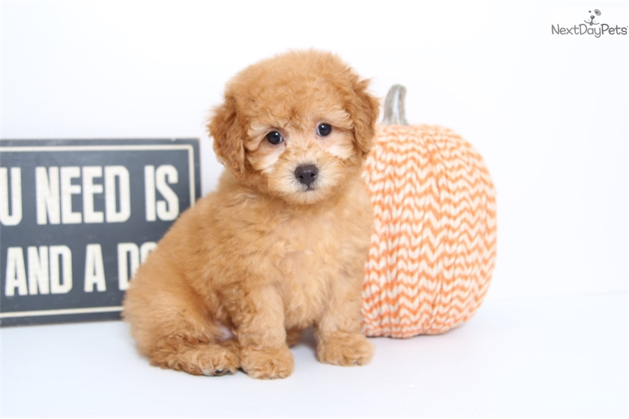 Cheap Toy Dogs : Cheap toy poodle puppies wow