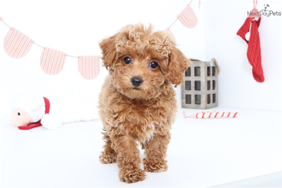 Poodle, Toy puppy for sale near Ft Myers / SW Florida